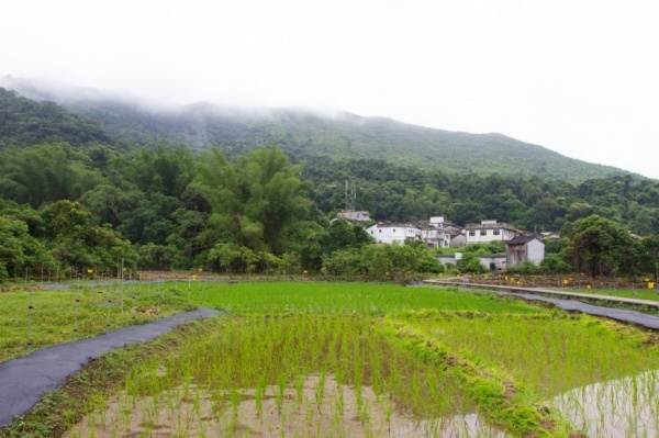Paddy farming resumed in Lai Chi Wo