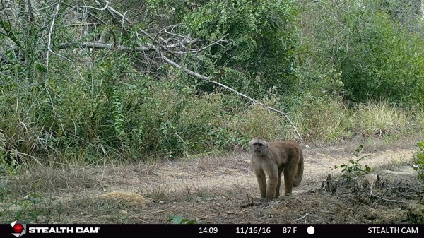 Figure 5. Sightings of the capuchin monkey by the camera traps in the La Gorda and Punta Verde private reserves (November 16/2016). ©Ramón Cedeño