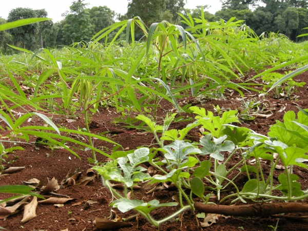 Picture 3. A field of mandioca (cassava) and watermelon (Photo by JWRC)
