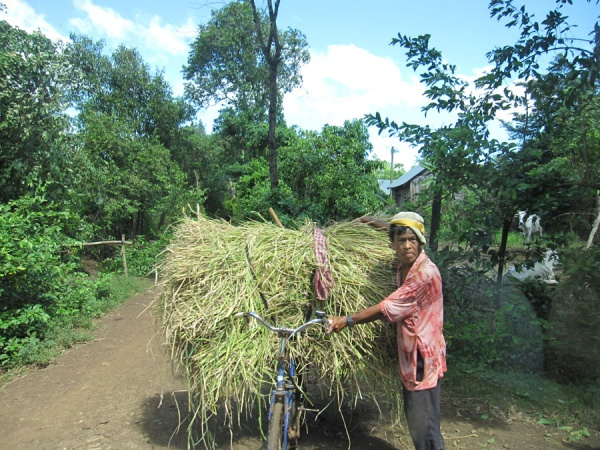 Picture 2 – Farmer collecting rice straw for composting in Wat Chas village (Credit: UNU-IAS)