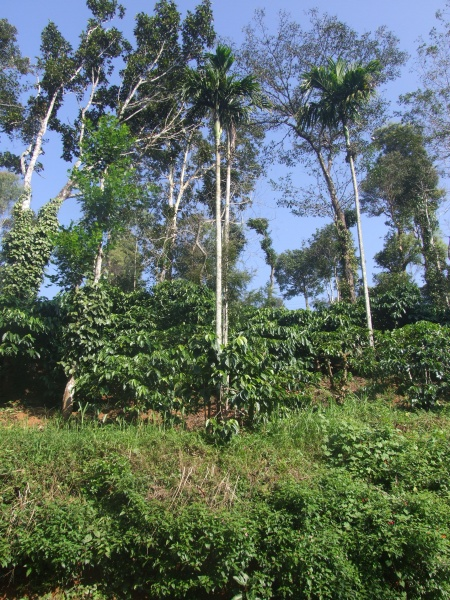 Picture 3 Traditional coffee-based homegarden with pepper trailed on native trees (Photo by: A.V. Santhoshkumar)