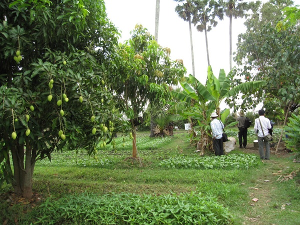 Picture 5 - Multi-cropping field in Wat Chas village (Credit: UNU-IAS)