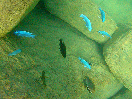 Fig. 1. Rock-dwelling cichlids of the mbuna group are highly prized in the ornamental fish industry but vulnerable to sedimentation. (Photo by Setsuko Nakayama)