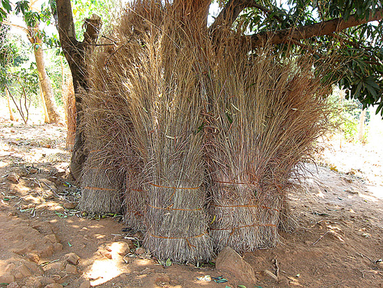 Fig.6: Grass is collected during the dry season to thatch the roof.