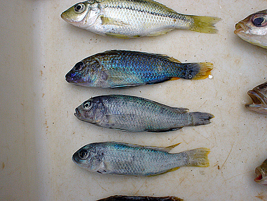 Fig. 8: Childrens' catch of mtaka (top two) and mbuna (bottom two) caught with earthworms as bait. (Photo by Setsuko Nakayama)