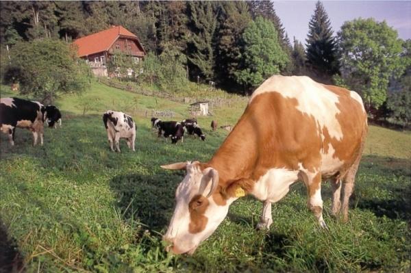 Cow1-1024x682