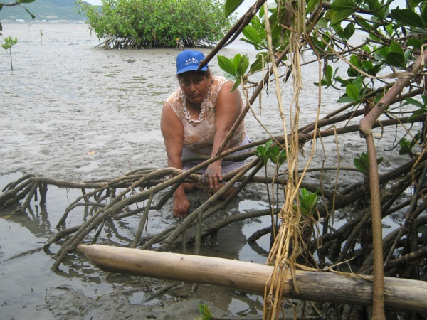 Mangrove woman collecting shells