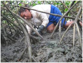 Photo 1: A woman gathering mangrove clams.