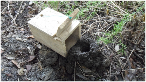 Photo 11: Trap placed beside a burrow the evening before the monitoring day.