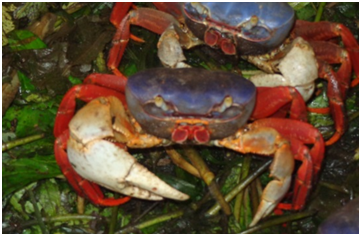 Photo 3: Mouthless Crabs
