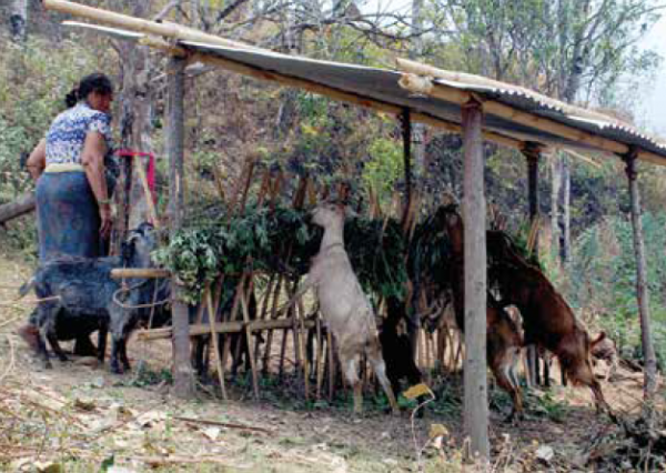 Livestock rearing is one of the major livelihood strategies in Barshong