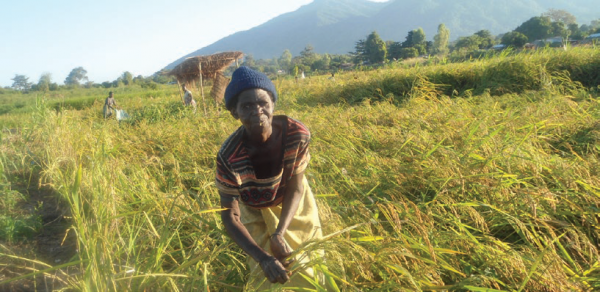 Rice farming is largely practiced by women and children as men fish in the Lake, COMDEKS Malawi