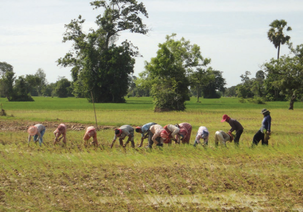 Farmers using new practices to plant rice, COMDEKS Cambodia