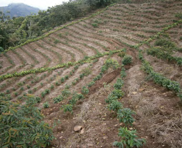 Coffee farm with contour planting and guard channels in the upper river basin, COMDEKS Costa Rica