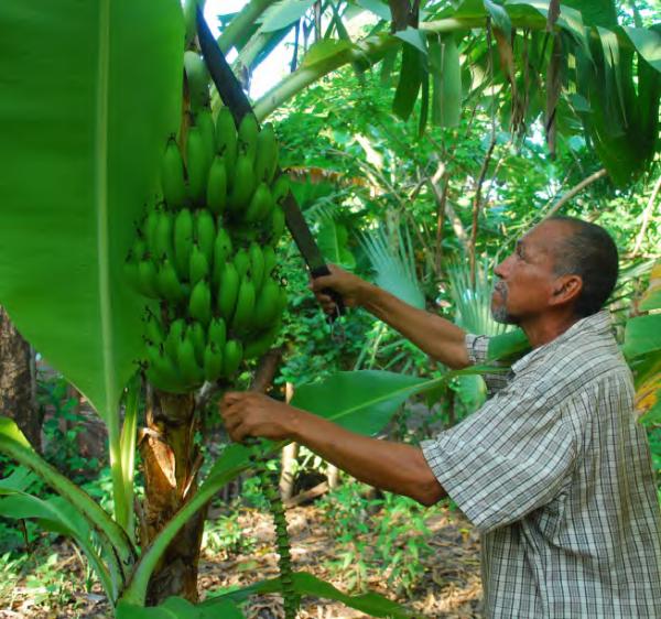 Banana harvest in El Palmo, COMDEKS El Salvador