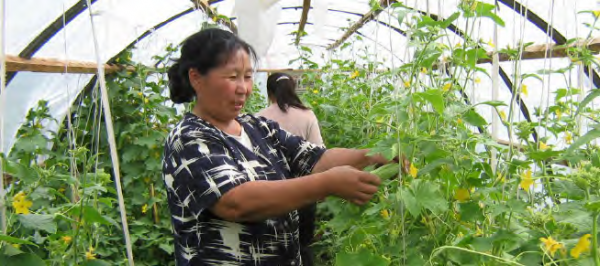 Greenhouses extend cultivation periods in cold climates, COMDEKS Mongolia