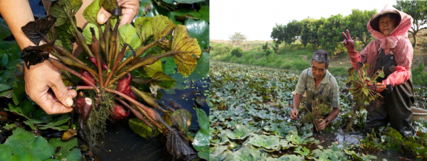 Figure 3. Farmers collecting Chinese water chestnuts at a wetland in Tainan City's Guantian district.