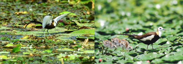 Figure 4. The pheasant-tailed jacana defending its nest built on floating vegetation and young chicks feeding accompanied by their parent.