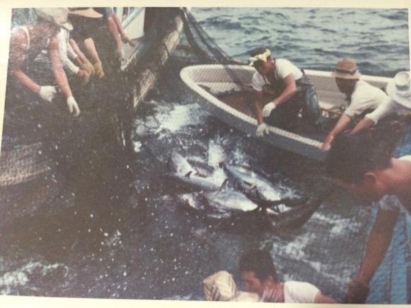 Figure 7. Abundant tuna stocks around Matsushima Bay in the 1960s (Photo: Mrs. Takeyo Utsumi)