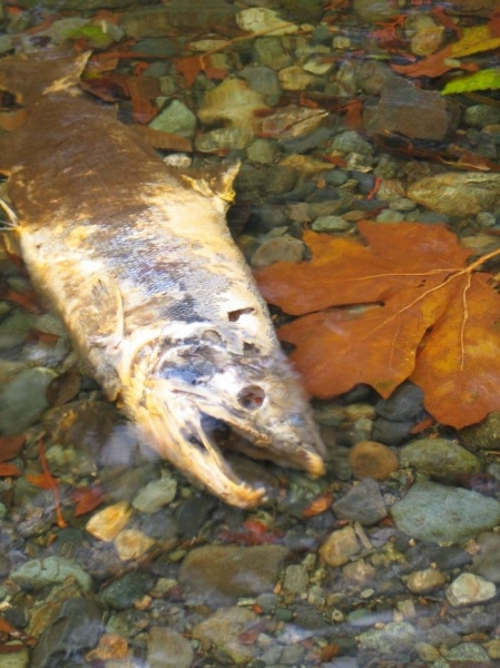 Figure 9. Salmon stocks have proven particularly challenging to manage due to high year-to-year variability in return rates (Photo: Chris Cooling)