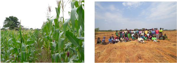 Conventional maize field (L) compared with Natural Agriculture field (R) Farmers with their covered fields after harvesting