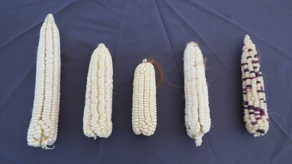 Local varieties (L to R): Eight Lines, Go By Red, Siluntuba, Kankosyi and Kafwamba