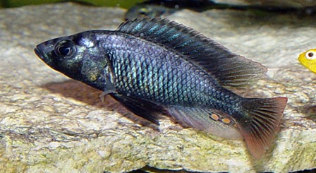 Figure 3. Photo of Haplochromine cichlid (Source: http://www.pinterest.com304978205992886134)
