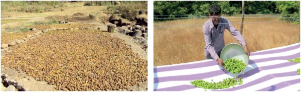 Figure 1. Left: Traditional drying method for T. chebula fruits; Right: Drying method for FairWild certified T. chebula fruits (Photo: Jayant Sarnaik)