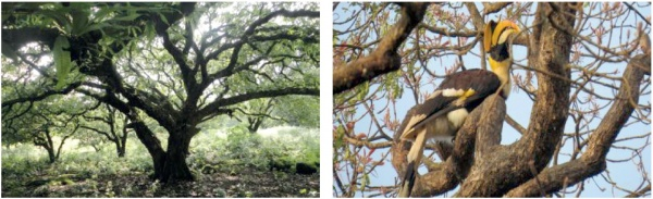 Figure 5. Left: Wild population of Terminalia chebula trees; Right: Great pied hornbill nesting on certified tree of Terminalia bellirica (Photo: Jayant Sarnaik)