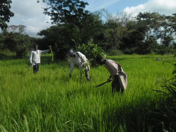 Farmers busy on rice field