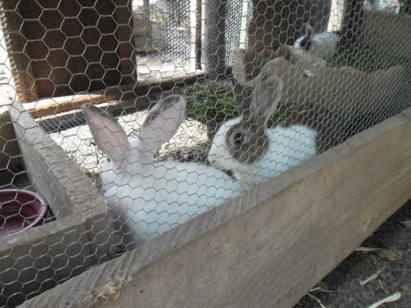 Rabbit rearing