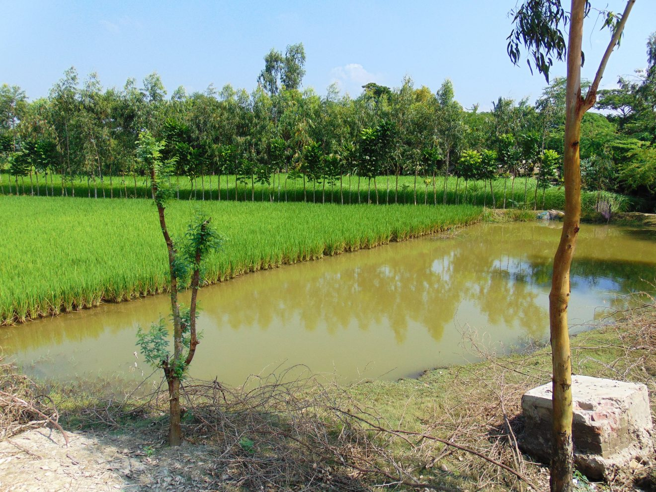 Paddy-fish-tree integrated farming in Sundarban World Heritage-the tansition of landscape to seascape in delta - a segment of landscape